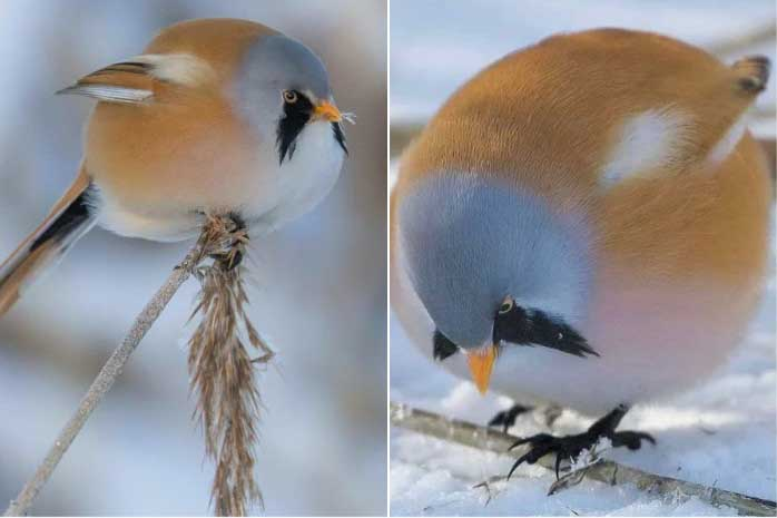 Watch The Moustached Fluffy Birds Who Can Do The Splits