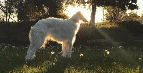 Borzoi on Instagram: 6 Most Amazing Accounts You Should See on Your Own